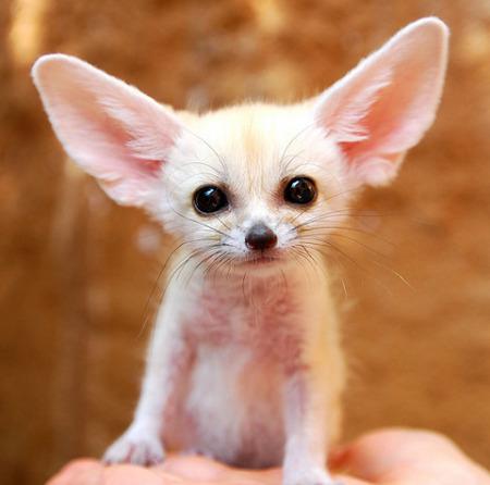 baby-fennec-fox-01.jpg