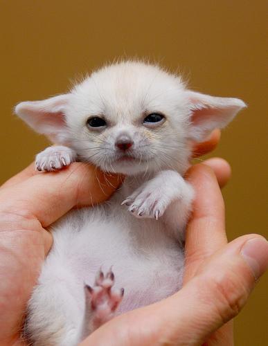 baby-fennec-fox-02.jpg