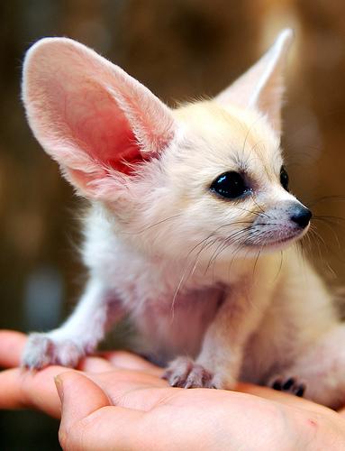 baby-fennec-fox-04.jpg