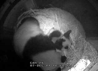 baby-panda-kiss-03.jpg