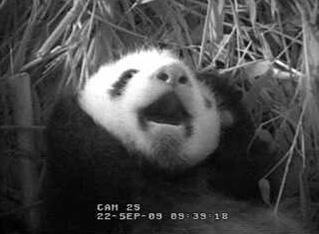 baby-panda-yawn.jpg