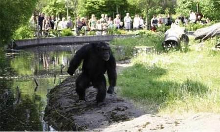 chimp460x276.jpg
