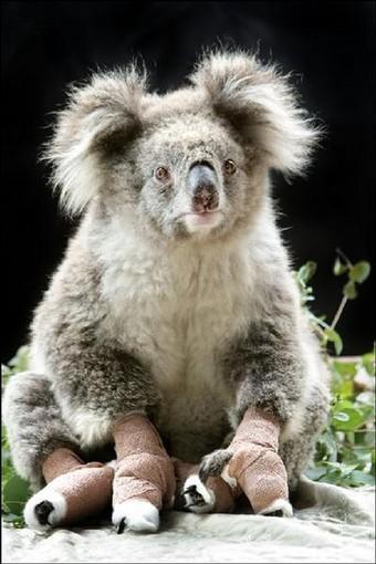 koala-cast.jpg