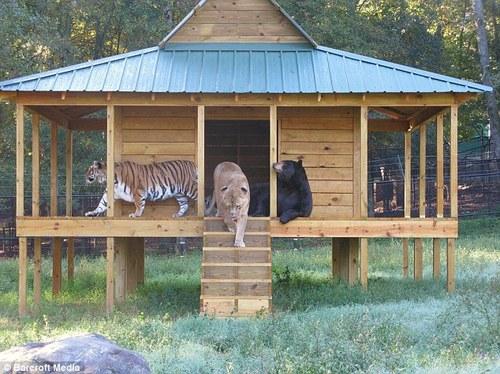 liontigerbear.jpg