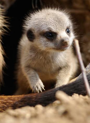 meerkat-babies-01.jpg