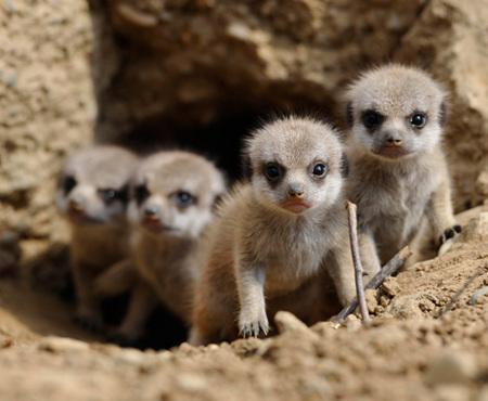 meerkat-babies-02.jpg
