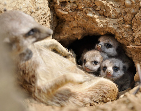 meerkat-babies-03.jpg