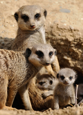 meerkat-babies-04.jpg