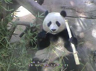 panda-cam-bamboo-111009-02.jpg