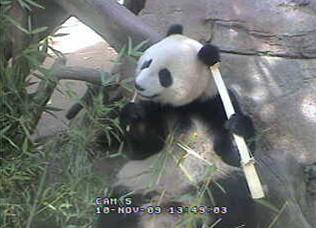 panda-cam-bamboo-111009-03.jpg