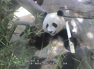panda-cam-bamboo-111009.jpg