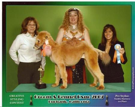 poodle-camel.jpg