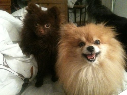 adorable-poms-gizmo.jpg