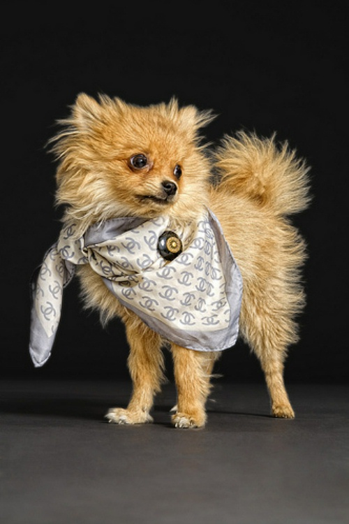 chanel-scarf-puppy.jpg