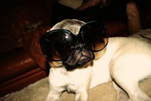 glasses-pug.jpg