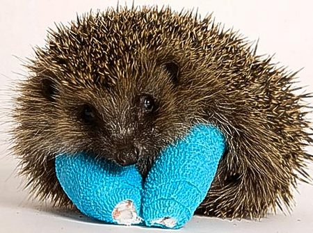 baby-hedgehog-broken.jpg