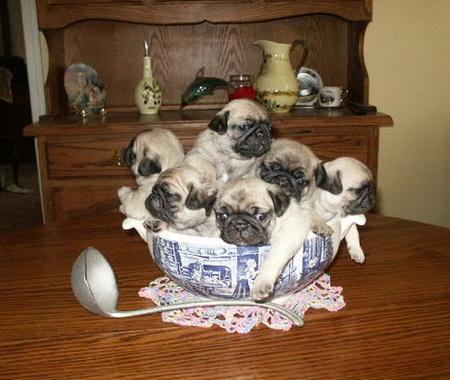 bowl-of-pugs.jpg