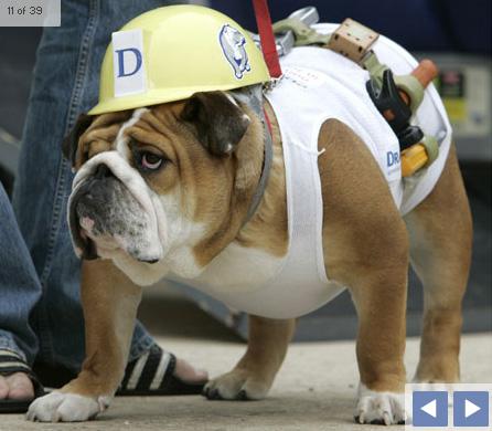 bulldog-halloween-01.jpg