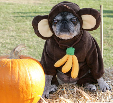bulldog-halloween-02.jpg