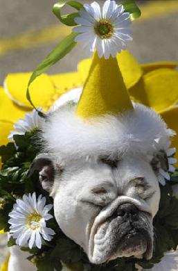 bulldog-halloween-04.jpg