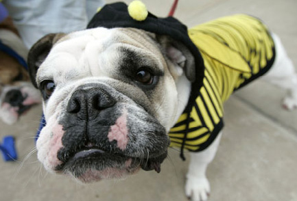 bulldog-halloween-06.jpg