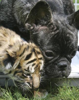 bulldog-tiger.jpg