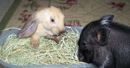 bunny-pig.jpg