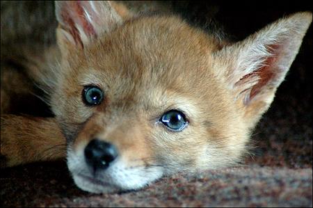 charlie-coyote-01.jpg