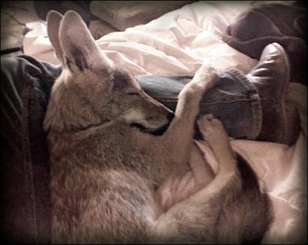charlie-coyote-03.jpg