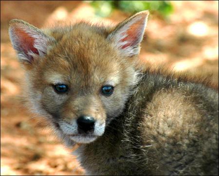 charlie-coyote-05.jpg