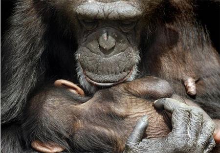 chimp.article.jpg