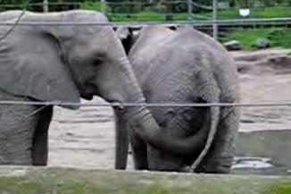 elephant-eats-poop.jpg