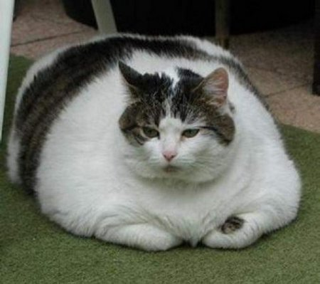 fat_cat_4.jpg