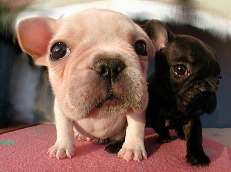 french-bulldog-puppies.JPG