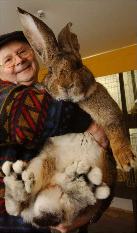 herman-giant-rabbit-01.jpg