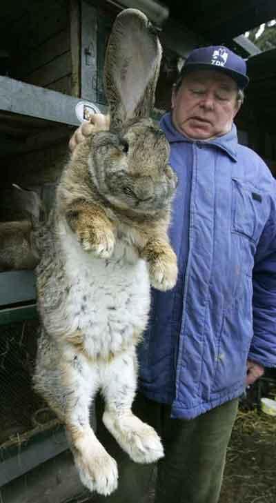 herman-giant-rabbit-02.jpg