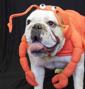 lobster-bulldog.jpg