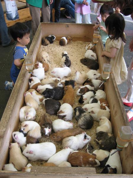 many-guinea-pigs.jpg