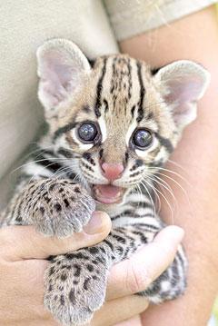 ocelot-kitten.jpg