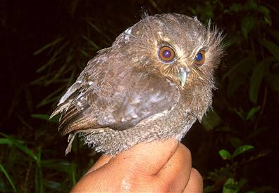 owlet-peru.jpg