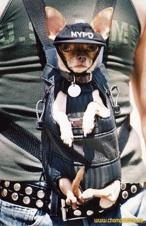 police-chihuahua.jpg