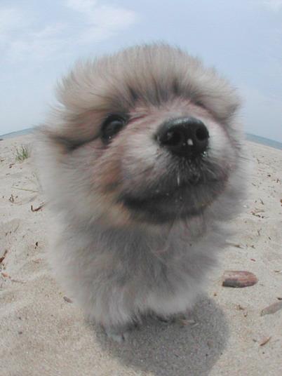 pomeranian-puppy02.jpg