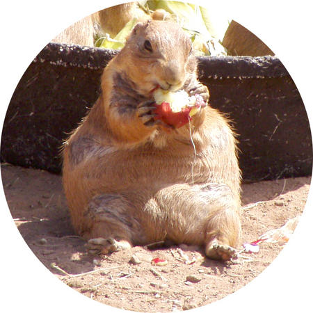 prairie-dog-apple.jpg