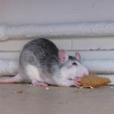 rat-eating.jpg