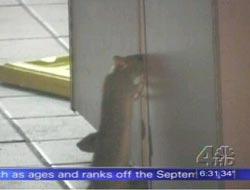 rats-kfc.jpg