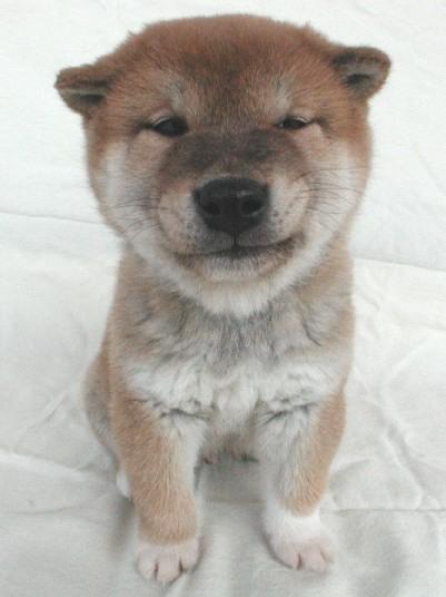 shiba-inu-puppy.jpg
