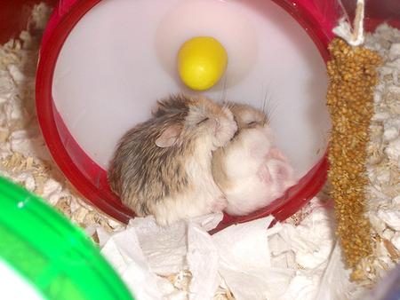 spooning-hamsters.jpg