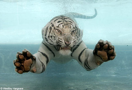 white-tiger-water.jpg