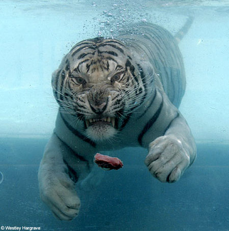 white-tiger-water02.jpg