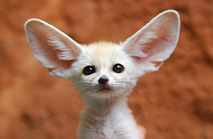 mini_pets_fox.jpg